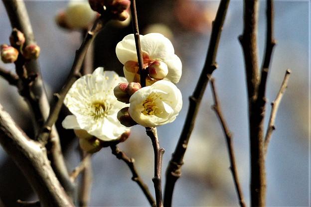 春の使者、梅のほころび