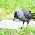 コクマルカラスは鳩より小さめ。日本で見つけるのはごく稀