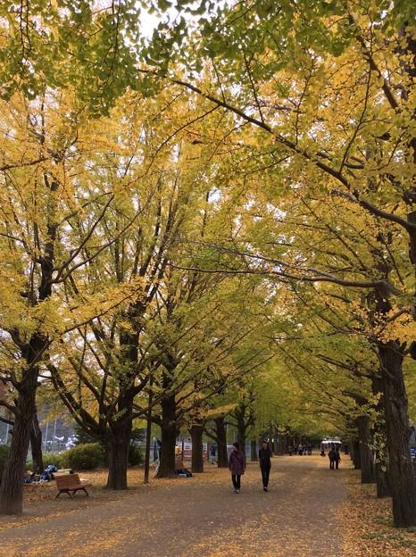 11月9日 昭和記念公園のいちょう並木道