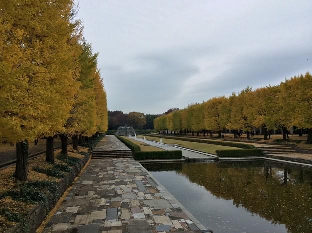 11月9日 昭和記念公園 カナール噴水広場の銀杏