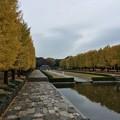 Photos: 11月9日 昭和記念公園 カナール噴水広場の銀杏