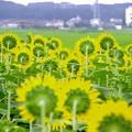 Photos: ひまわりの向く方向を見てみる・・座間ひまわり畑・・20170806