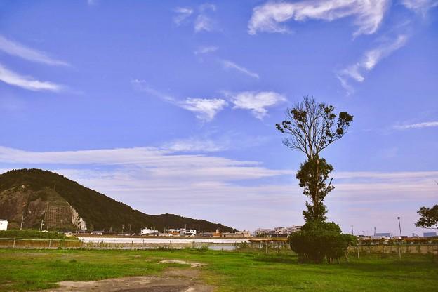 復興への生きのびた木。。石巻旧北上川中洲 20170826