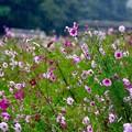 撮って出し。。秋雨の日。。休日の寂しいコスモス畑 10月15日