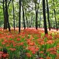まるで森に咲く赤い花。。曼珠沙華 20170918