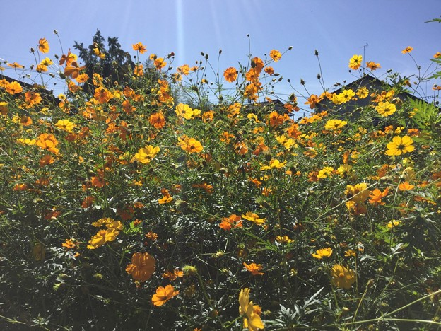 高麗駅から巾着田へ行く途中の黄色とオレンジのコスモス 20170918