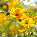 写真: 黄色いコスモス。。太陽の光を浴びて。。20170918