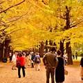 撮って出し。。真っ黄色染まった昭和記念公園のいちょう並木 11月4日
