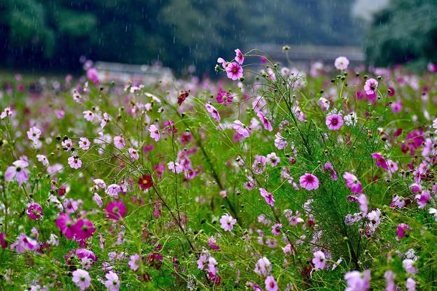 雨の日。。くりはま花の国 コスモス畑 20171015