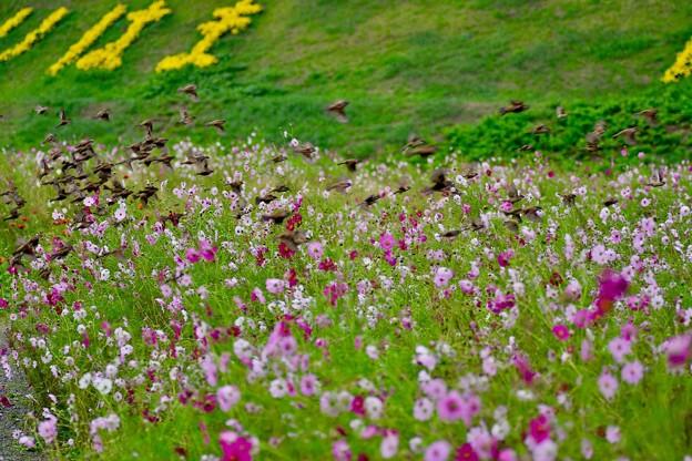 くりはま花の国コスモス畑。。一気にスズメが飛び立つ風景 20171015