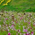 写真: くりはま花の国コスモス畑。。一気にスズメが飛び立つ風景 20171015