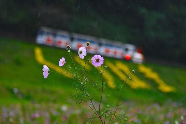 人は少ない雨降りのくりはま花の国 コスモス 20171015