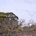 写真: 撮って出し。。築城基地航空祭予行練習 柿の木とブルーインパルス 11月25日