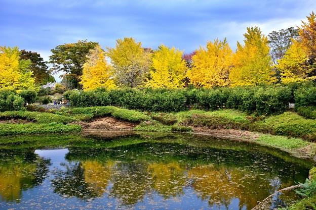 黄色く色づくいちょうの木。。昭和記念公園 20171104