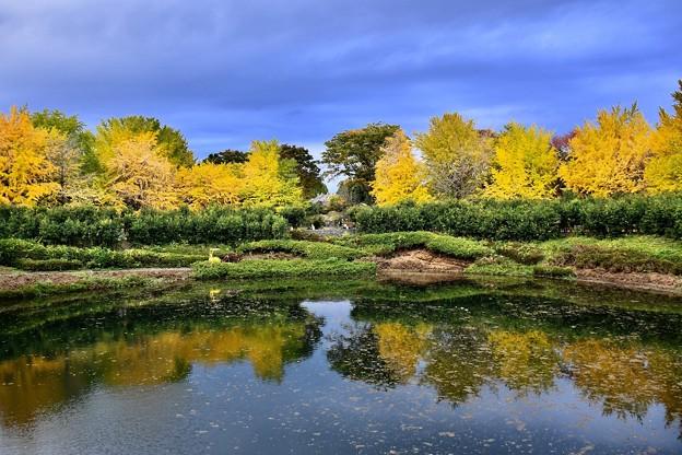色づくいちょうの木。。水面映し出す。。昭和記念公園 20171104