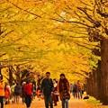 昭和記念公園のいちょう並木。。黄色く色づく道 20171104