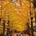 黄色いいちょうのトンネル。。昭和記念公園 20171104