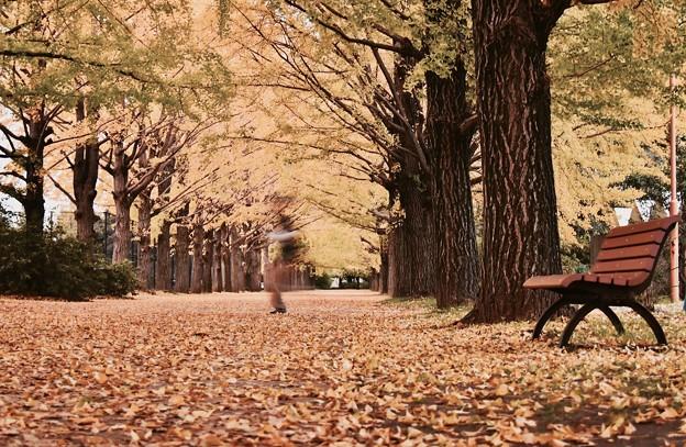 誰もいないと思ってたら。。昭和記念公園いちょう並木 20171104
