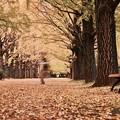 写真: 誰もいないと思ってたら。。昭和記念公園いちょう並木 20171104