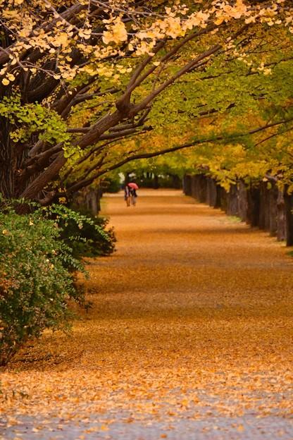 雨が降って来た昭和記念公園いちょう並木 20171104