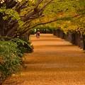 写真: 雨が降って来た昭和記念公園いちょう並木 20171104