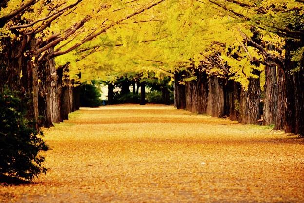 写真: 誰もいなくなった昭和記念公園いちょう並木 20171104