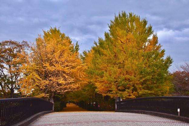 昭和記念公園いちょうの木々。。20171104