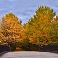 写真: 昭和記念公園いちょうの木々。。20171104