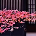 写真: 長谷寺の紅葉。。枯葉へ 20171209