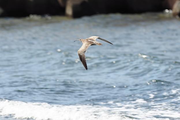 チュウシャクシギ飛翔0902 (2)