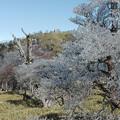 Photos: 大台の樹氷