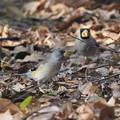 写真: コイカル幼鳥?1224 (3)