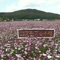 写真: 大曲湖畔園地コスモス0085