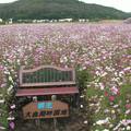 Photos: 大曲湖畔園地コスモス0086