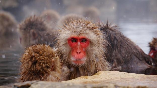 長野猴子泡湯02