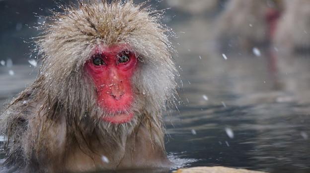 長野猴子泡湯06