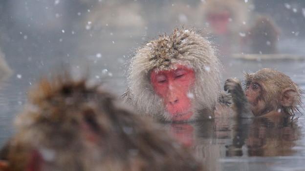 長野猴子泡湯07