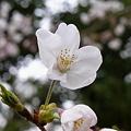 Photos: 花畑公園の桜