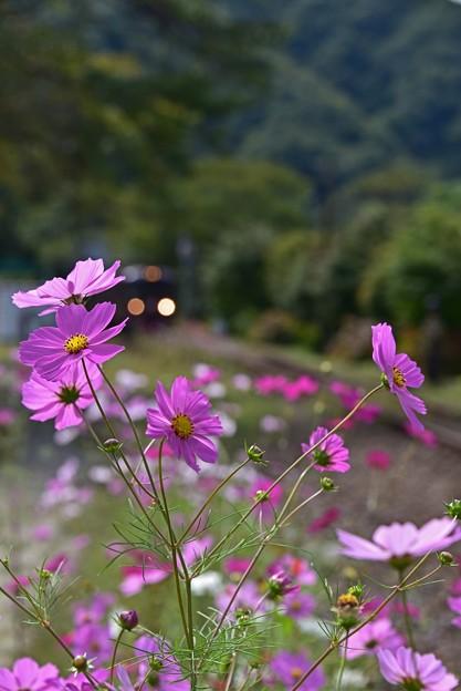 Photos: コスモス咲く道