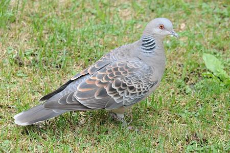 実はこんなにあった!日本の野生の鳩について | 日本鳩対策 ...