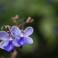bluebutterflyDSC08393_ed