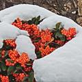 Photos: 雪とピラカンサ 再び