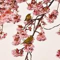 Photos: 桜・・・咲く