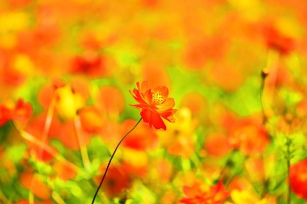Cosmos sulphureus ~野性的な美しさ~