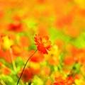 写真: Cosmos sulphureus ~野性的な美しさ~