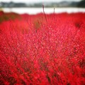 写真: 白露に 風の吹きしく 秋の野は つらぬきとめぬ 玉ぞ散りける