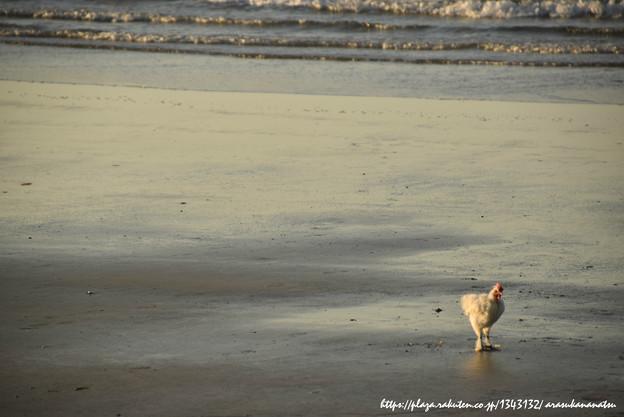 写真: 0048 海に鶏