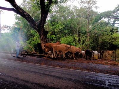 道ばたの牛たち