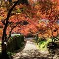 写真: 伽耶院参道のモミジ