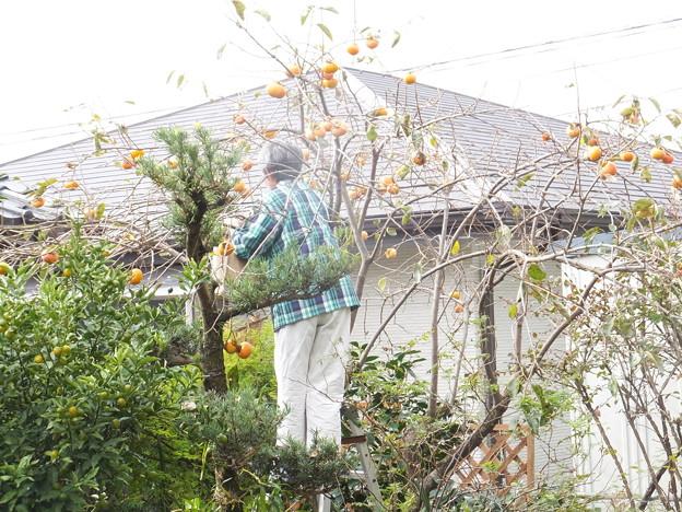 我が家の柿木